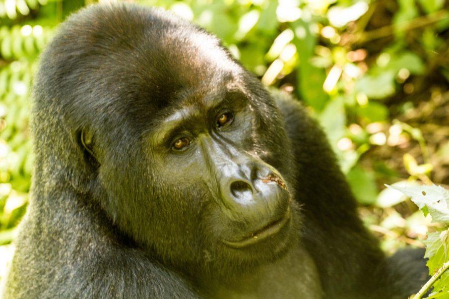 Bwindi young silverback gorilla